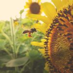 Industry Buzzes About Declining Pollinator Population